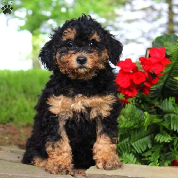 Victoria F1B Mini Bernedoodle Puppy For Sale in