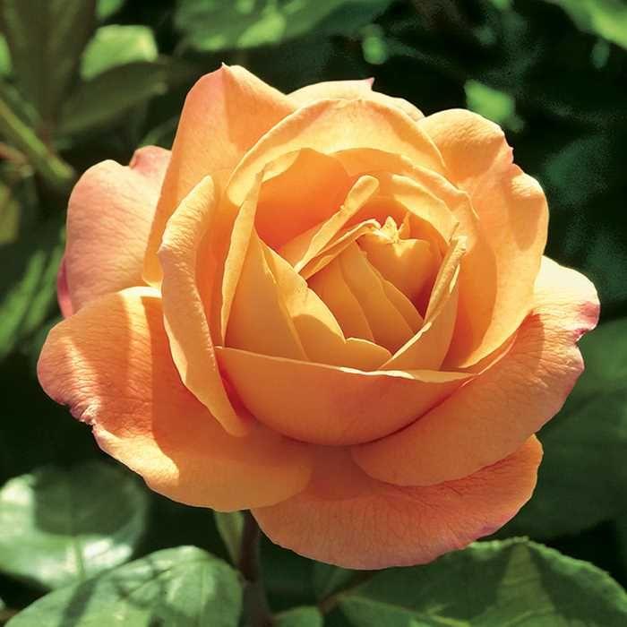 Strike It Rich Grandiflora Rose