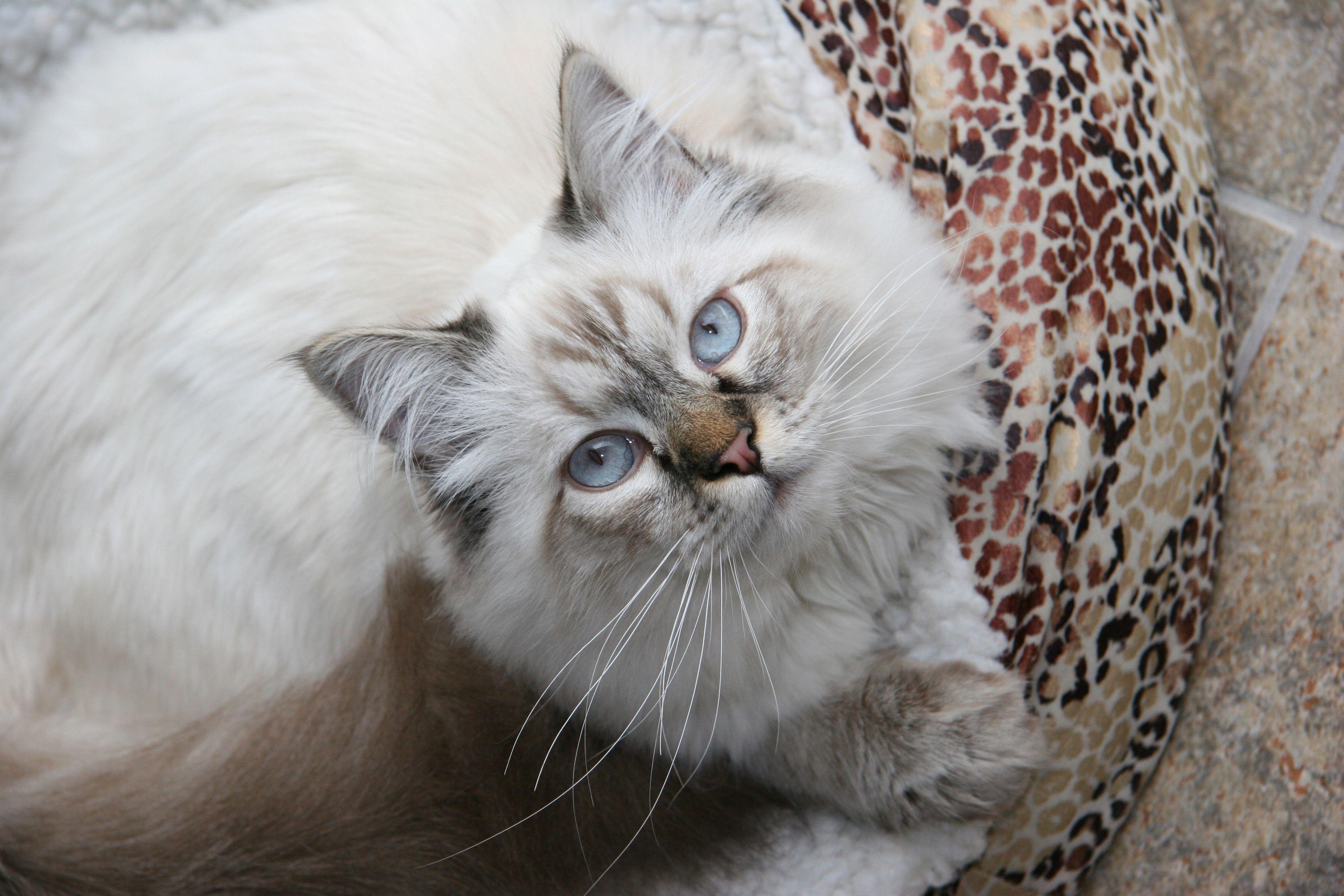 Chocolotta Testimonials Cat Colors Ragdoll Kitten Ragdoll