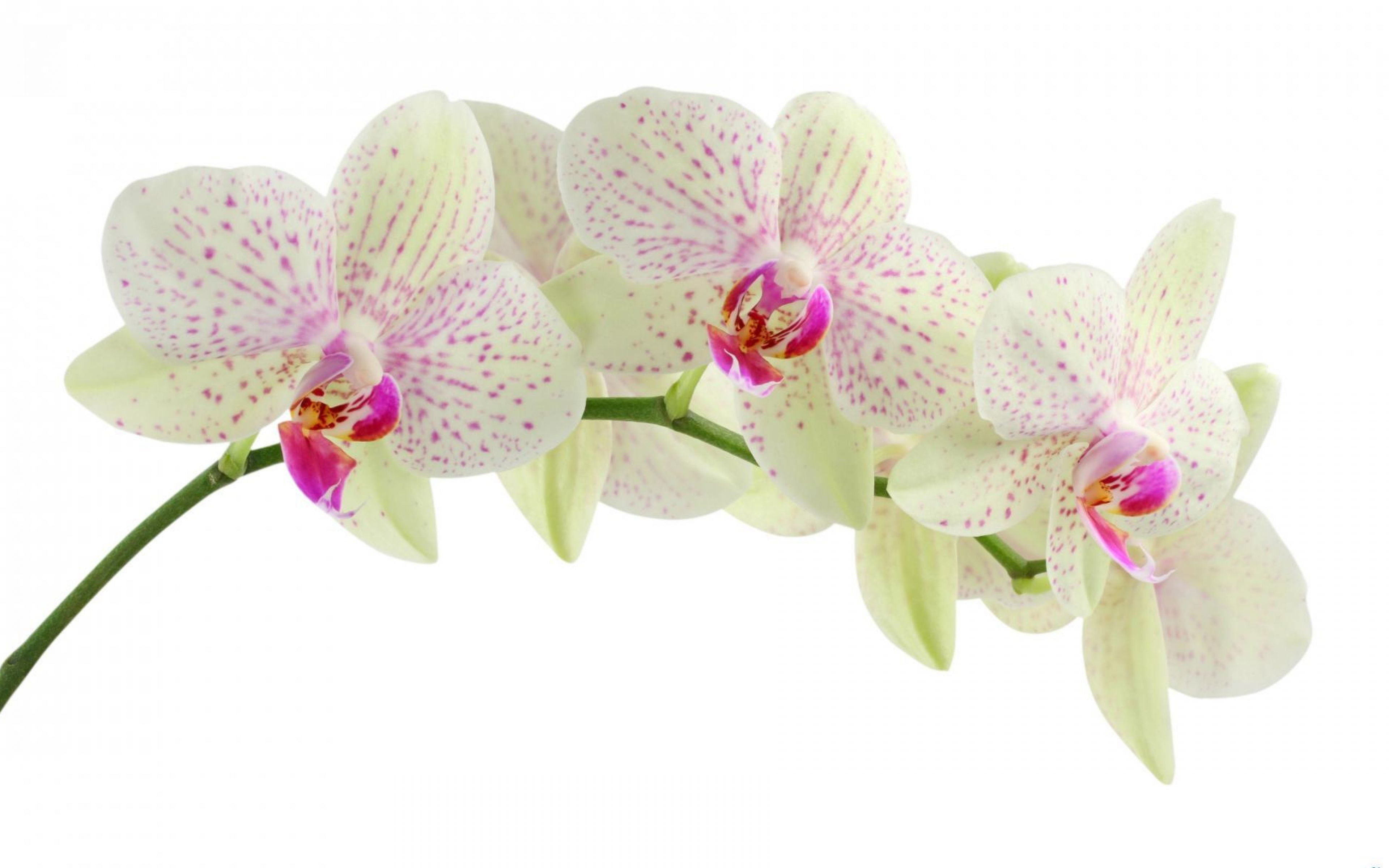 3840x2400 Wallpaper Orchid Flower White Branch Background