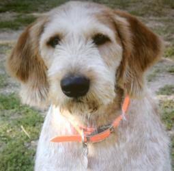 Jojo Very Housebroken Is An Adoptable Italian Spinone Dog In Farmington Mn Jojo Loves Kids