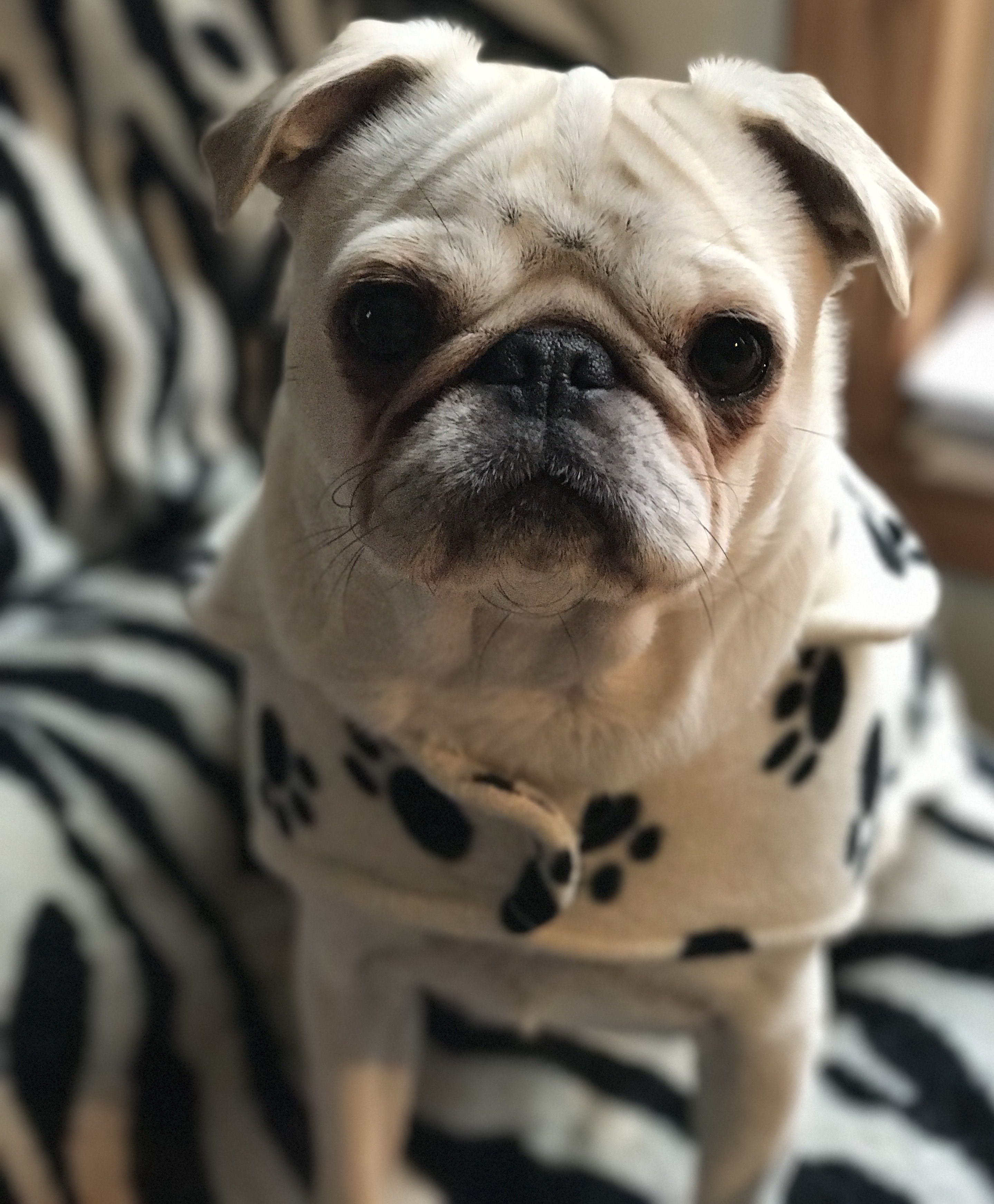 Pin By Lindy Johnson On White Pug Puppies Cute Pug Puppies Pug