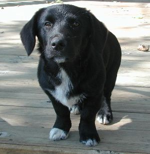 Adopt Truffles On Petfinder Black Lab Mix Labrador Retriever Black Lab Puppies