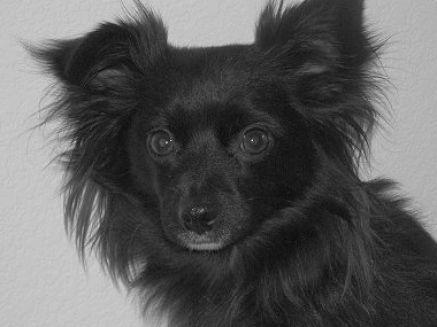 Black Long Haired Chihuahua Long Haired Chihuahua Chihuahua Black Chihuahua