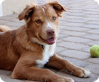 Image Result For Labrador Australian Shepherd Mix Australian