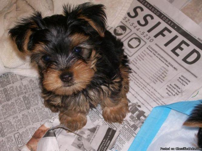 Tiny Teddy Bear Faced Toy Yorkies Doggie Stuff Yorkie Pup