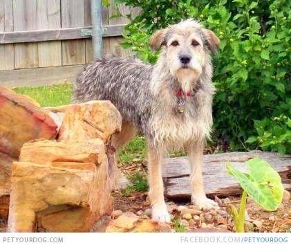 Armant Egyptian Shepherd Dog With Images Dog Breeds