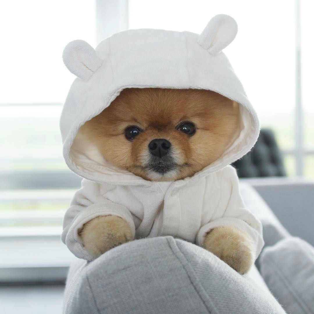 Jiff The Pomeranian Is A Cute Little Dude With A Very