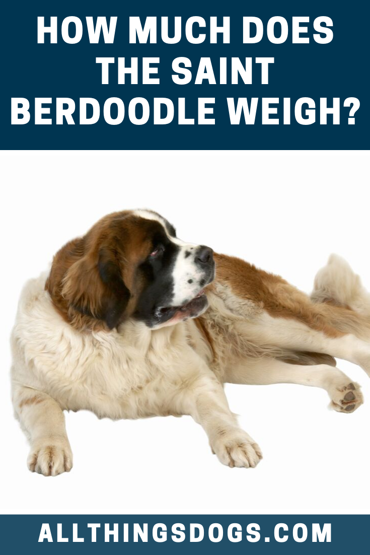 Saint Berdoodle Weight St Berdoodle Large Dog Breeds Giant Teddy