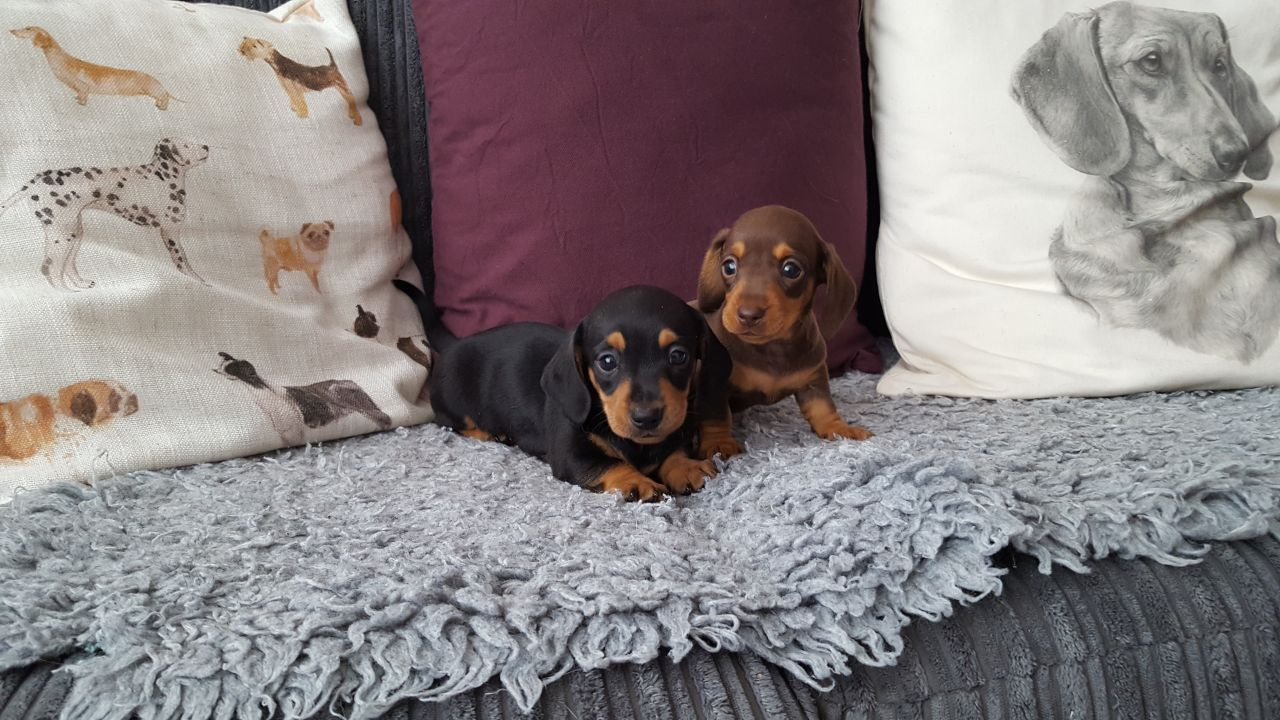 Miniature Smooth Haired Dachshund Pups Middlesbrough North