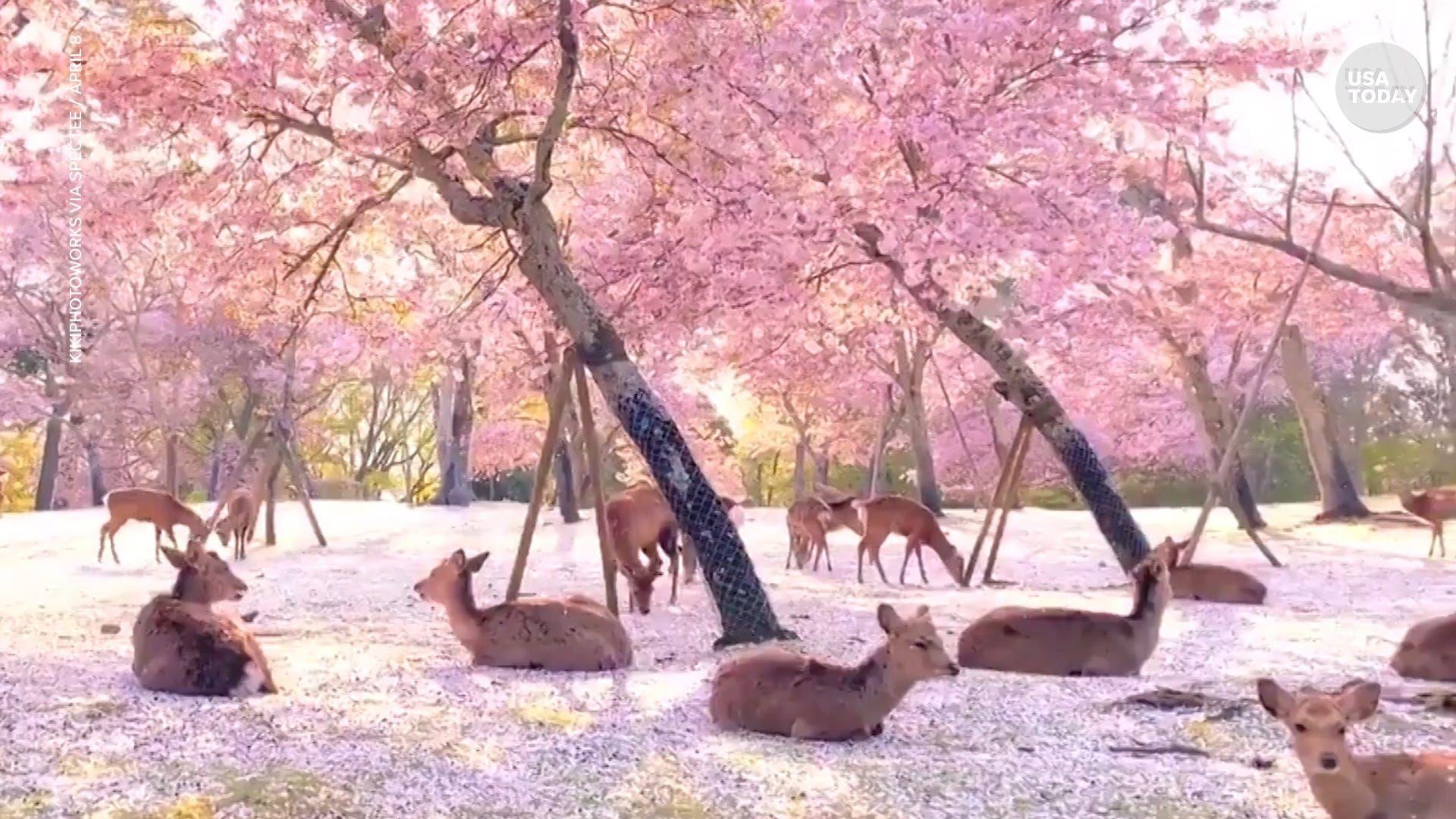 21 Most Beautiful Japanese Cherry Blossom Photos Dibujos De Arboles Flor De Cerezo Arboles