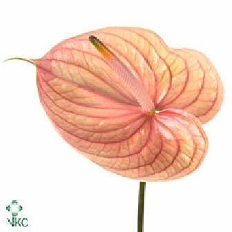 Plant Name Anthurium Price 1500 This Nepal Flowers And Decor Facebook