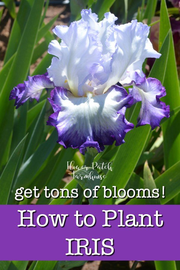 How to plant Iris and get tons of blooms. Iris are easy to grow but many beginner gardeners don't know the secret to having Iris grow well and create numerous blooms. I share the best way to plant and enjoy Iris in your garden. #gardenideas #beginnergarden #iris #flowerpatchfarmhouse
