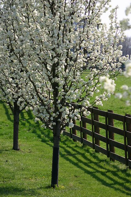 Pin By Maritza Gutierrez On Simple Country Bradford Pear Tree Flowering Trees Dogwood Trees