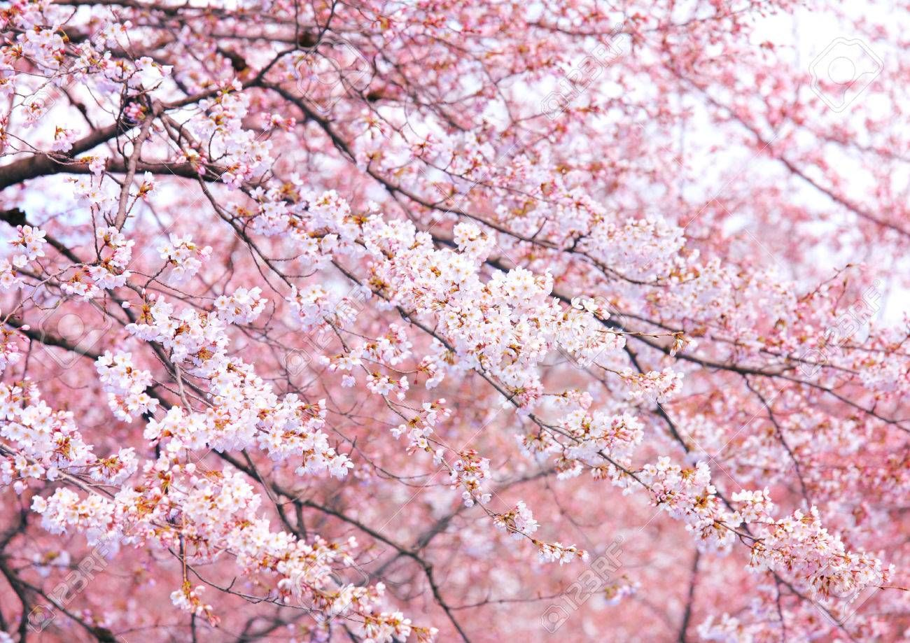Pink Sakura Tree Sakura Tree Sakura Art Tree Photography