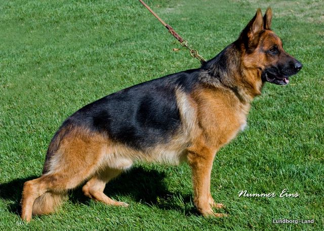 German Shepherds Of Show Quality German Shepherds Dogs And