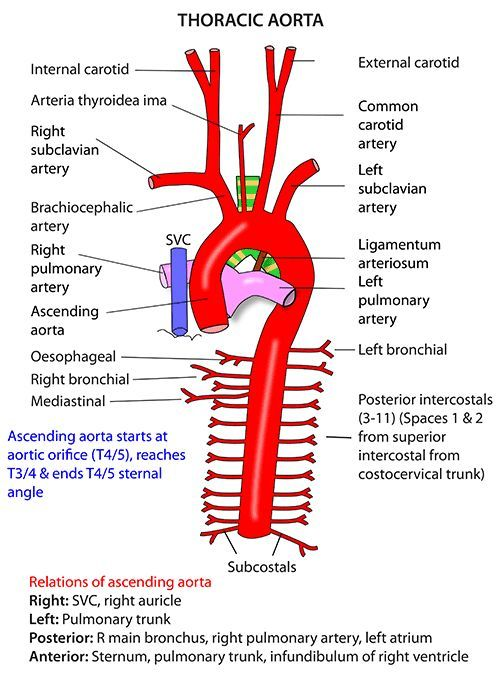 Instant Anatomy Thorax Vessels Arteries Ascending Aorta