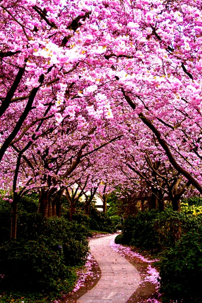 Cherry Blossom By Cb Photography Beautiful Gardens Pink Trees Spring Wallpaper