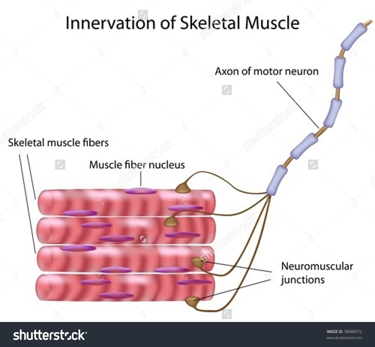 Stock Vector Skeletal Muscle Fibers And Motor Neuron In A