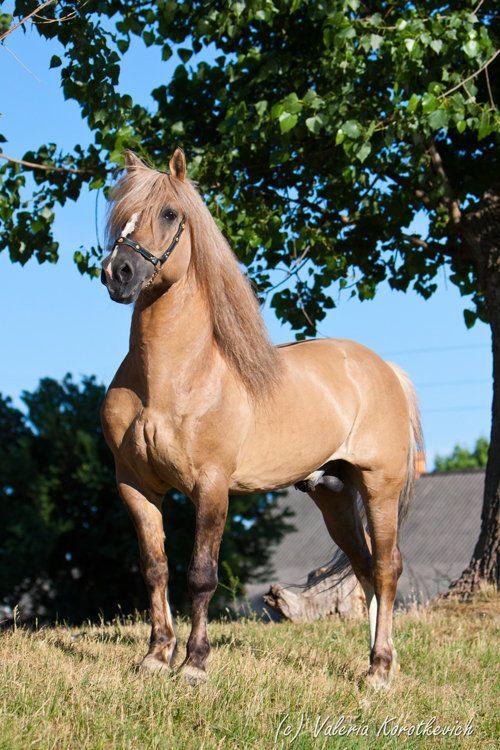 Byelorussian Harness Horse stallion Lisenok | Pretty Horses in 2018