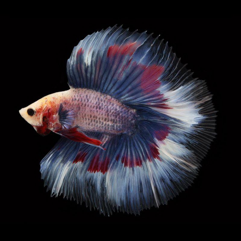 Dt082 Male Lavender Fullmoon Betta Betta Fish Betta Fish Types