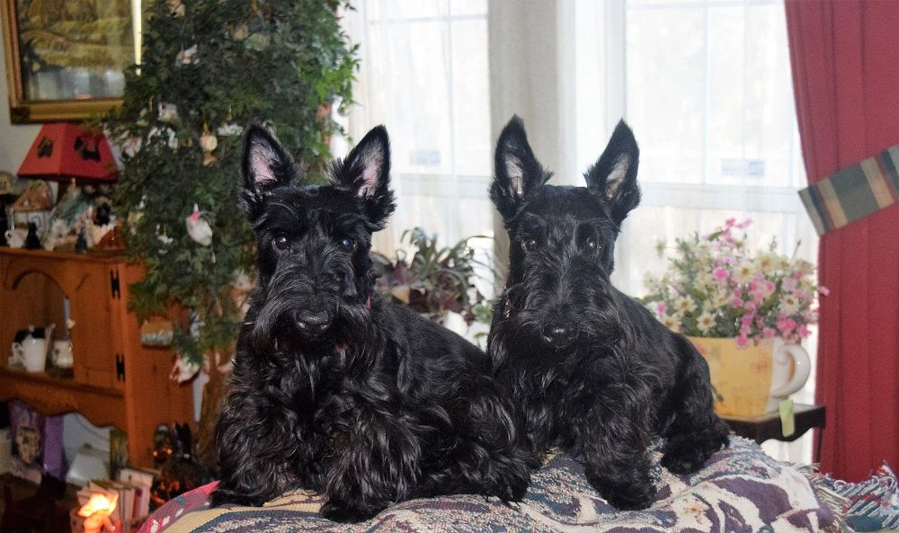 Herron S Sandhills Scotties Raeford North Carolina 2018 Matings Scottie Puppies Scottie Scottie Dog