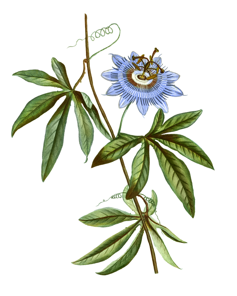 Passion Flower Benefits In 2020 Passion Flower Flower Drawing Botanical Artwork