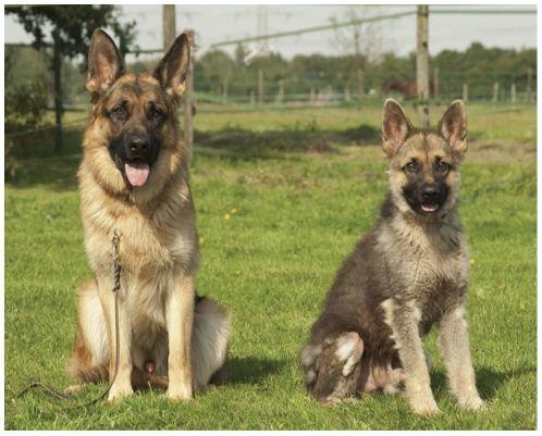 sex german dog shepherd