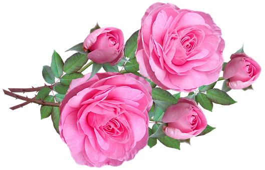 Free Image on Pixabay Flowers, Pink, Roses, Buds in 2020