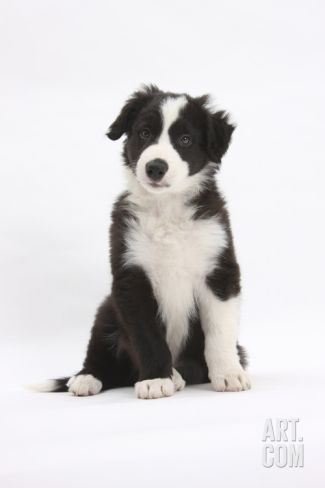 Border Collie Puppy Sitting Photographic Print By Mark Taylor At