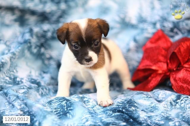 Leanna Jack Russell Terrier Puppy For Sale In Ephrata Pa Jack