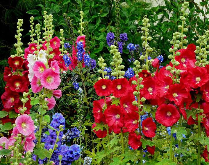 Pin von Kathi Cat auf Blumen Pinterest Stockrosen, Gärten und - bauerngarten anlegen welche pflanzen