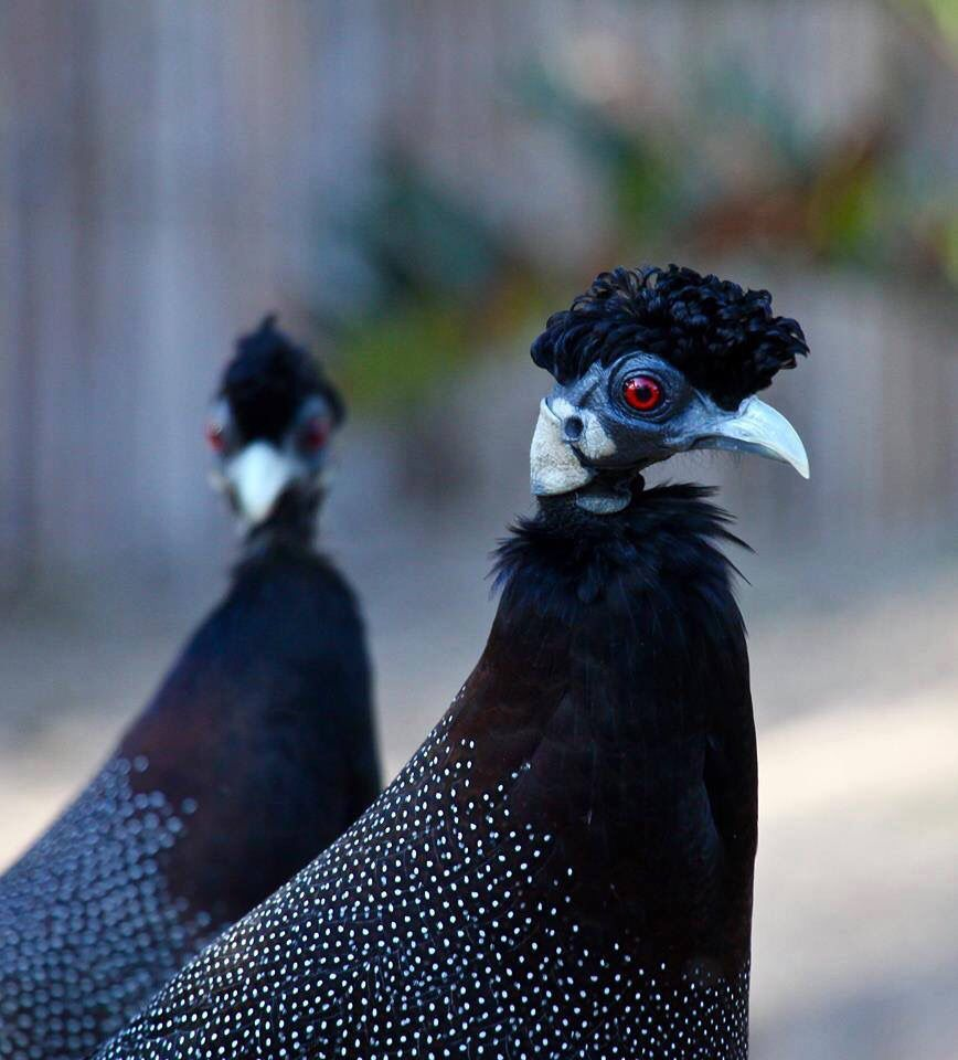 Crested Guineafowl Photo By Thinus Potgieter South Africa