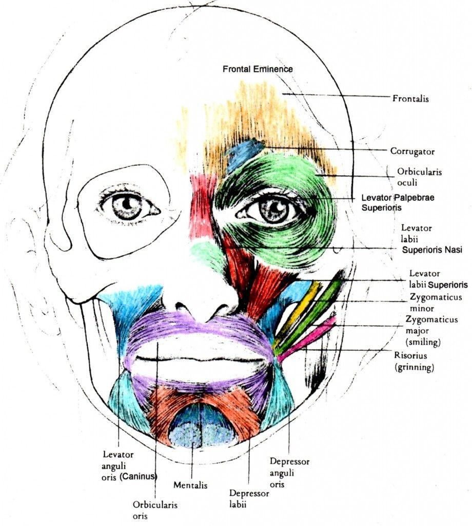 Erfreut Muskeln Des Gesichts Diagramm Bilder - Physiologie Von ...