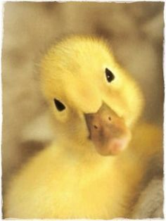 Baby duck, awe they are so stinkin cute, I WILL HAVE SOME NEXT SUMMER!