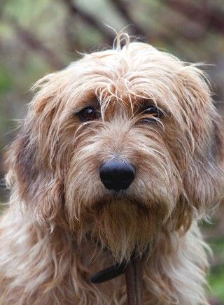 Steirische Rauhaarbracke Hunde Hunde Rassen Hunderassen