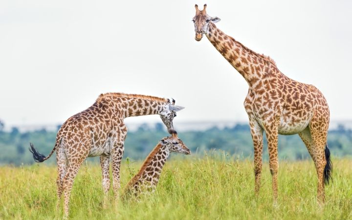 Giraffes are facing a silent extinction. Urge the USFWS to protect giraffes by listing them as Endangered under the Endan… | Endangered species ...