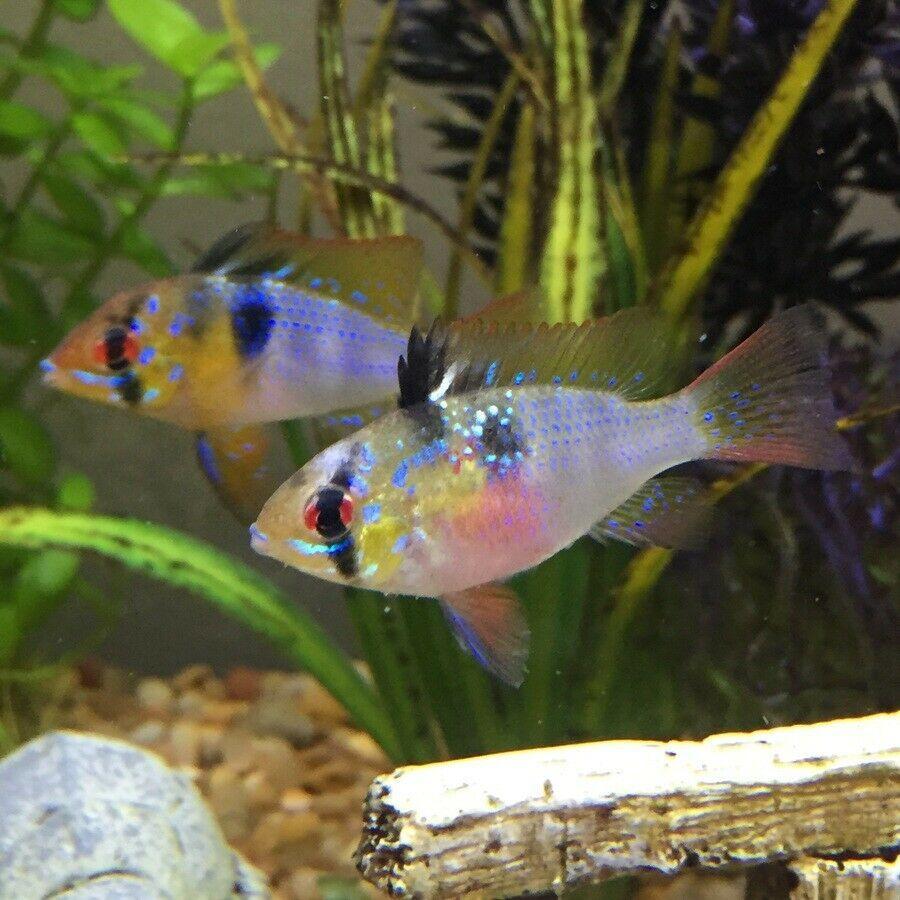 German Blue Ram Cichlid Females Cichlids Tropical Fish South American Cichlids