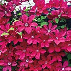 Amazon.com: Red Cardinal Clematis Ground Covers and Vines By Gurney's Seed & Nursery Company 84274: Patio, Lawn & Garden
