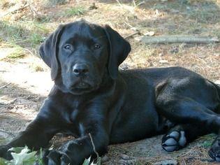 Mastador Mastador Dog Mastiff Mix Labrador Retriever