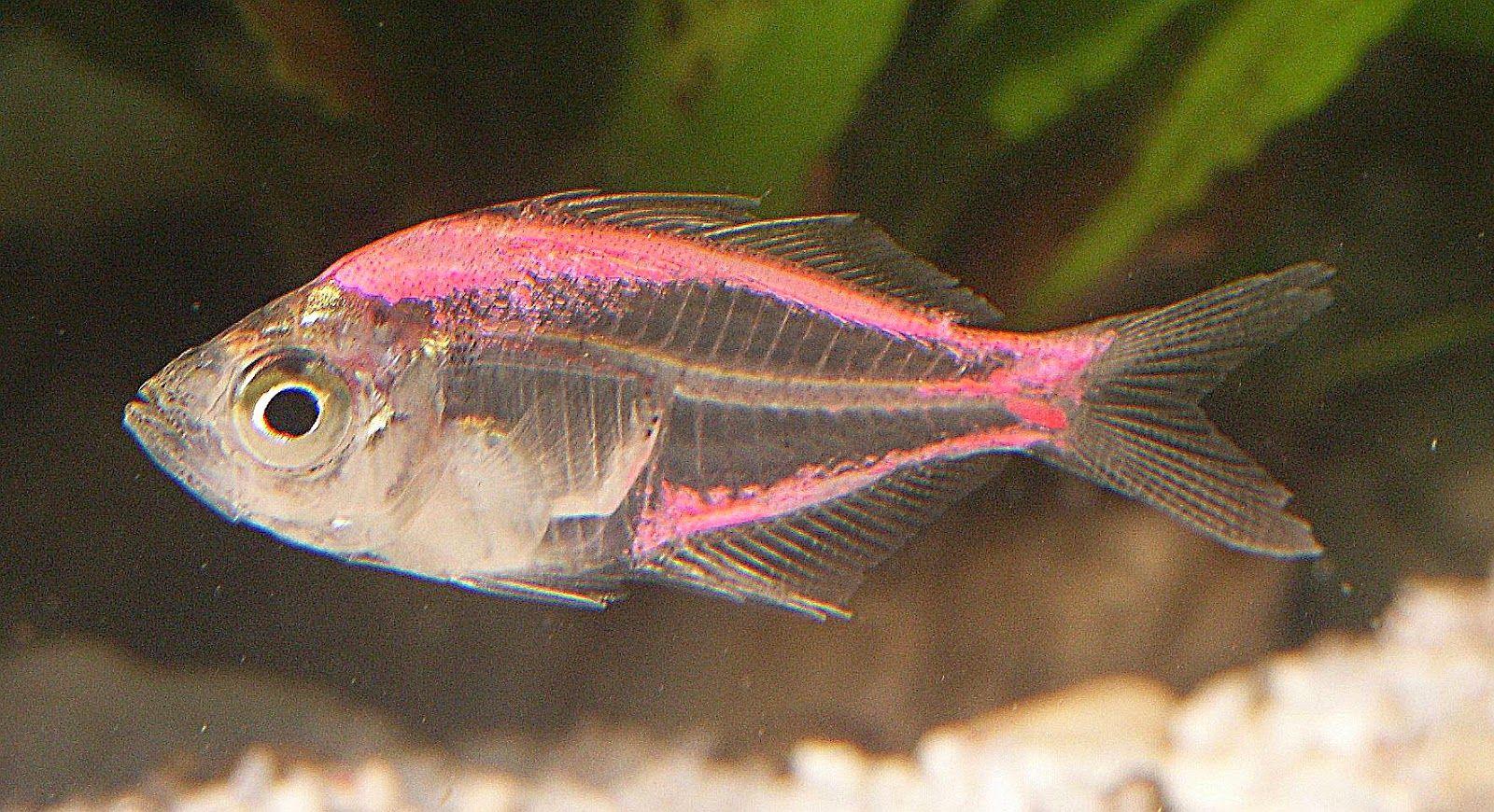 Nama Hewan Dari Huruf X Anak Cemerlang Susswasser Aquarienfische Pinker Fisch Gefullter Fisch