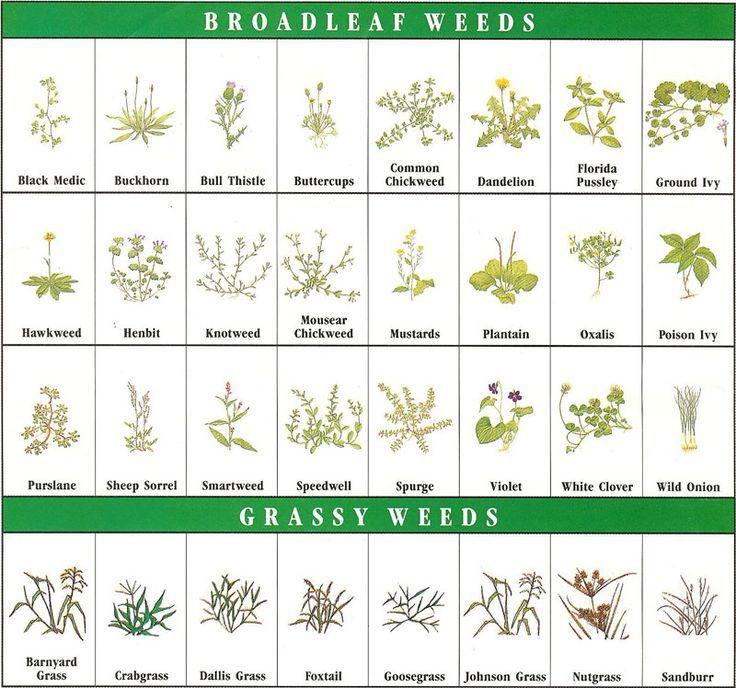 Image result for weed identification chart broadleaf indiana also weeds rh pinterest