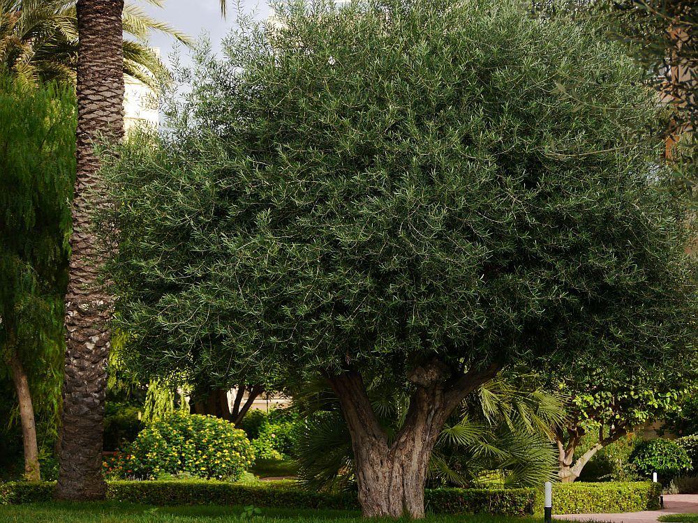 Olivenbaum Wachst Nicht Olivenbaum Olivenbaumchen Baum