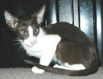 Oriental Shorthair Black White Oriental Shorthair Cats Oriental Shorthair Kittens Cutest
