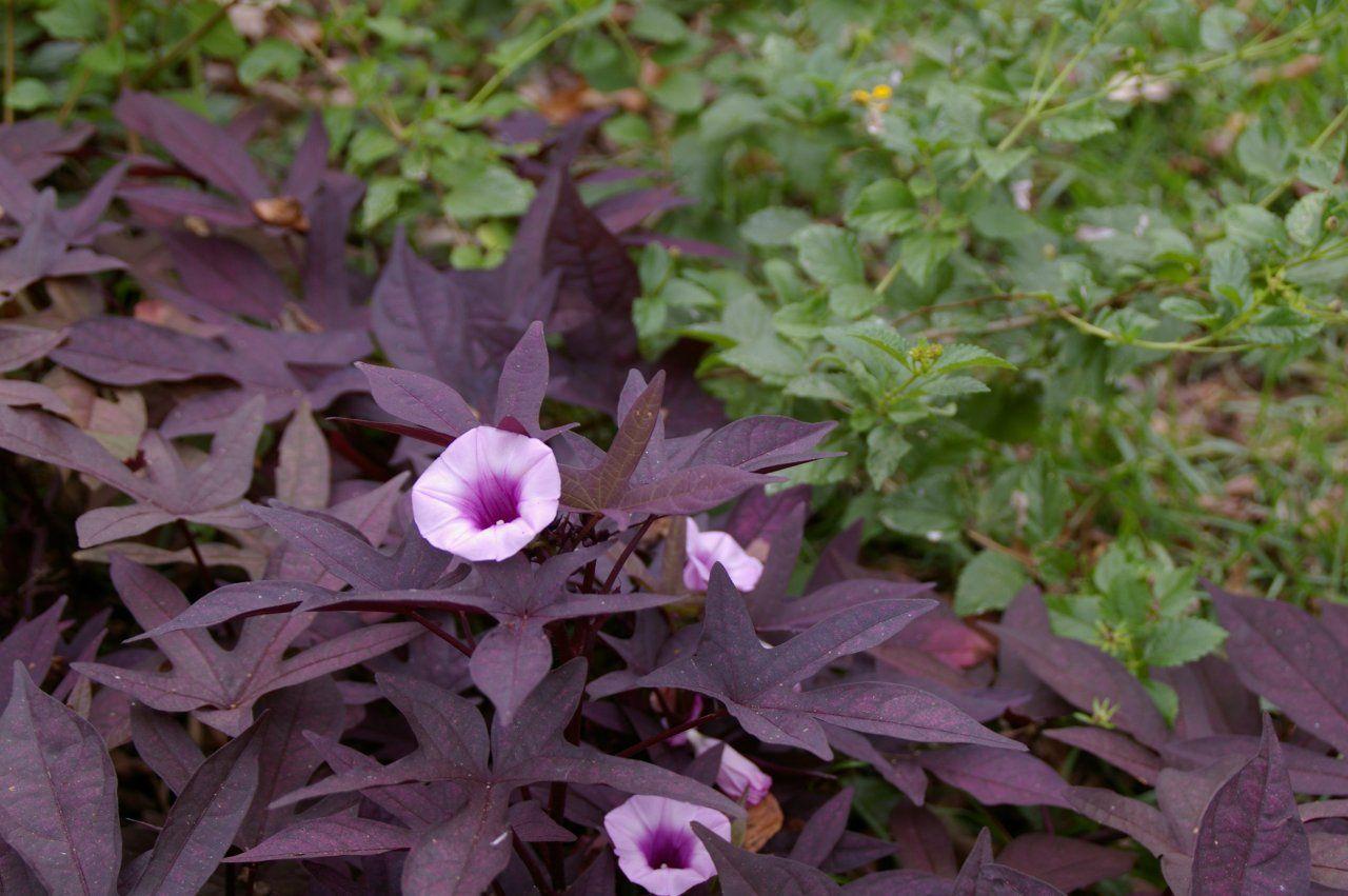 Garden Bloggers Bloom Day Purple Sweet Potatoes Purple Flowers Garden Potato Vines