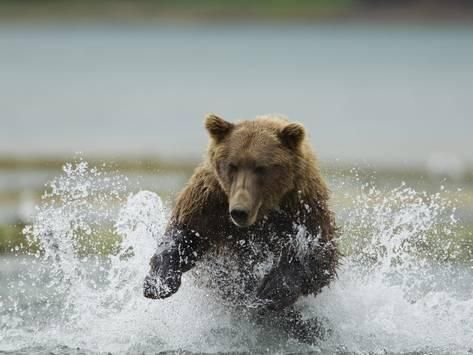 Photographic Print: Grizzly Bear Chases after Spawning Salmon, Geographic Harbor, Katmai National Park, Alaska, Usa by Paul Souders : 24x18in