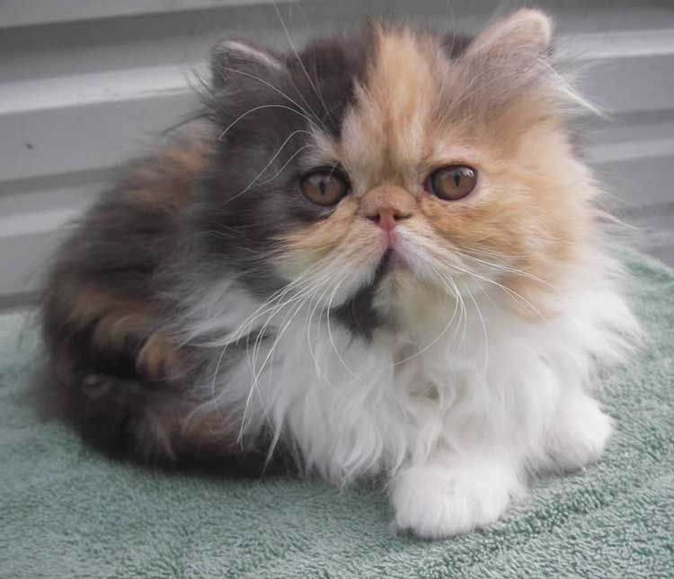 20 Most Affectionate Cat Breeds in The World | Cat | Persian