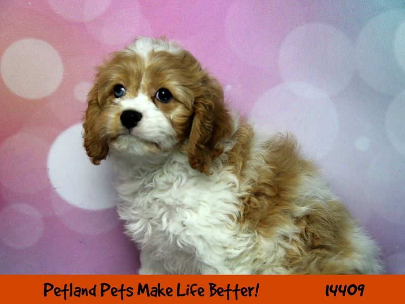CavapooDOGFemaleRed/White2506202 Puppies for sale