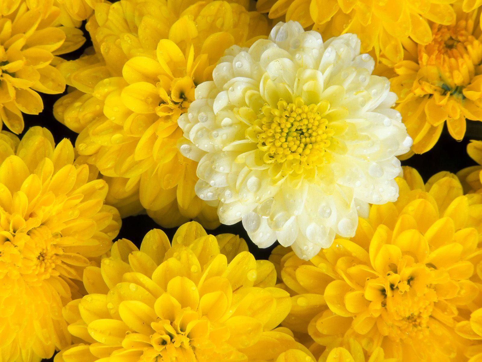 yellow dahlia flower - photo #33