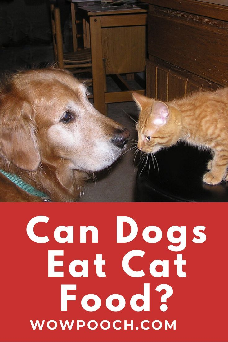 Can dogs eat cat food wowpooch can dogs eat cat food